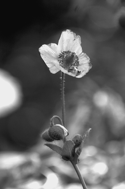 Black and white image of a Meconopsis.