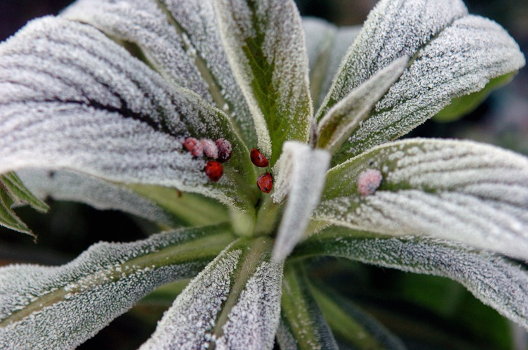 Frozen ladybirds sitting on the leafy crown of a plant.